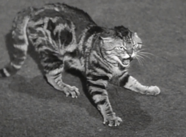 You Never Can Tell - tabby cat Boots hissing in reverse