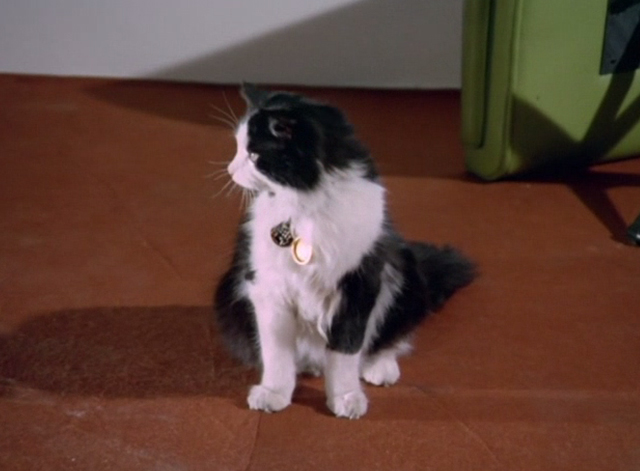 The Avengers - The Hidden Tiger - long haired tuxedo cat with open locket on collar