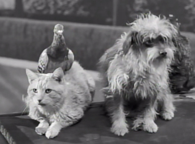 The Beverly Hillbillies - Clampett City - Rusty the cat Orangey with pigeon and Arnie the dog on hood of truck
