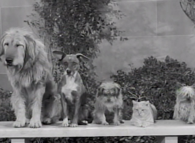 The Beverly Hillbillies - Dash Riprock, You Cad - dogs and cat Rusty Orangey on bench