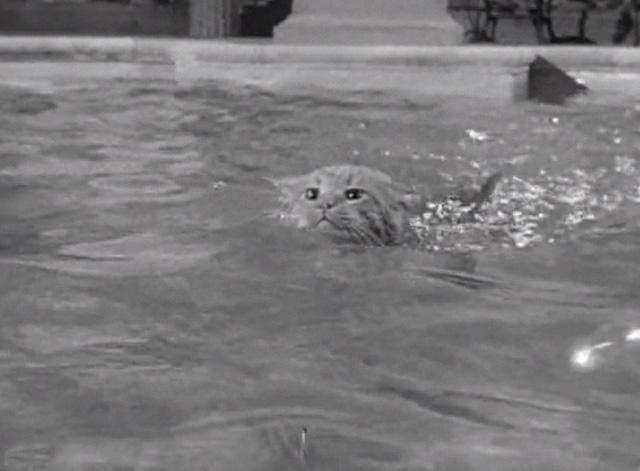 The Beverly Hillbillies - Elly's Animals - Orangey Rusty cat swimming in pool close