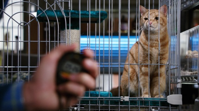 Bones - The Mutilation of the Master Manipulator - orange tabby cat Skinner sitting in cage in Jack's lab