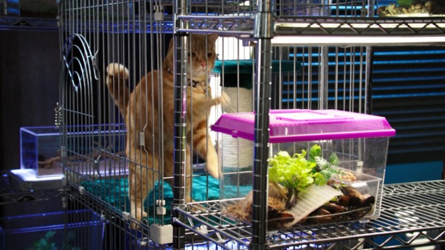 Bones - The Mutilation of the Master Manipulator - orange tabby cat Skinner in cage trying to get lizards