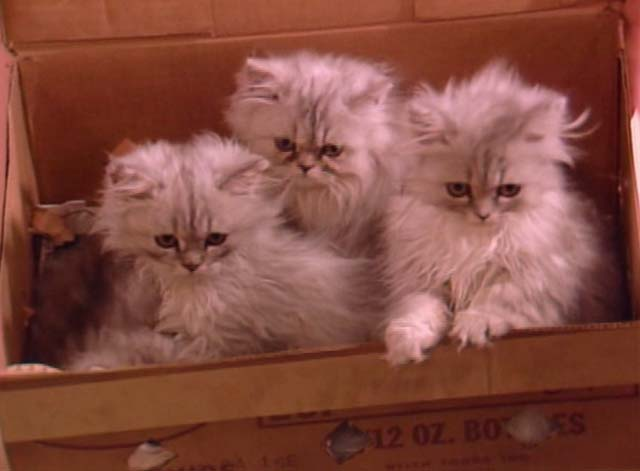 Bosom Buddies - Only the Lonely - box of long-haired silver kittens