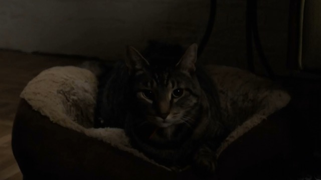 Brain Dead - Goring Oxes tabby cat in cat bed