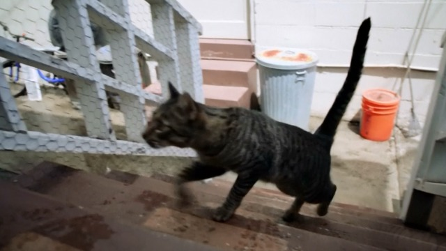 Hawaii Five-0 - Piko Pau'ioli - tabby cat running up wooden stairs