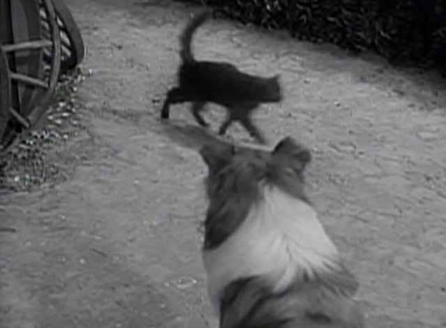 Lassie - Superstition black cat crosses Lassie's path again