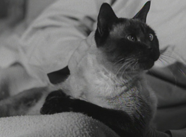 Perry Mason - The Case of the Caretaker's Cat - Siamese cat close