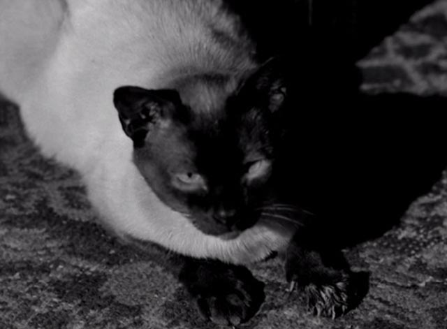 Perry Mason - The Case of the Silent Partner - close up of Siamese cat