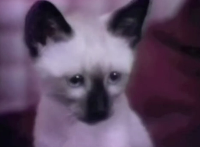Sesame Street - My Kitten - close up of Siamese kitten Dusty