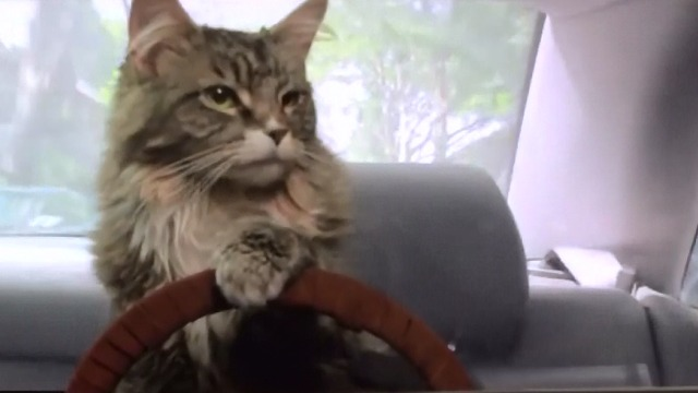 Runaway - sElf Maine Coon cat driving