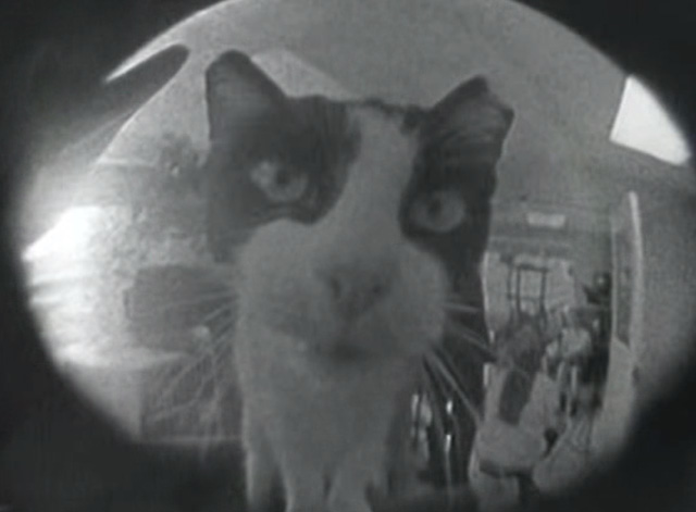Veruca Salt - Seether - tuxedo cat looking into fish eye lens